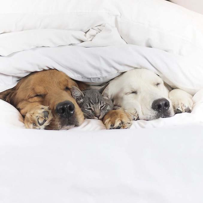Μια απίθανη παρέα: Δυο σκύλοι και μια γάτα κάνουν τα πάντα μαζί (4)