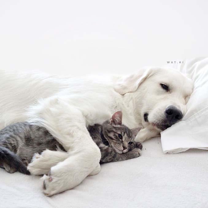 Μια απίθανη παρέα: Δυο σκύλοι και μια γάτα κάνουν τα πάντα μαζί (5)