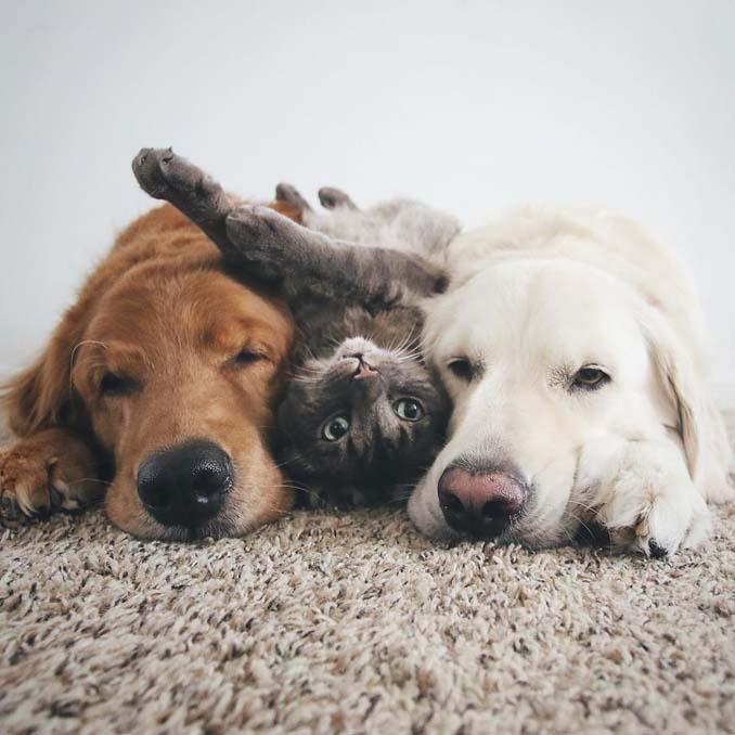 Μια απίθανη παρέα: Δυο σκύλοι και μια γάτα κάνουν τα πάντα μαζί (7)