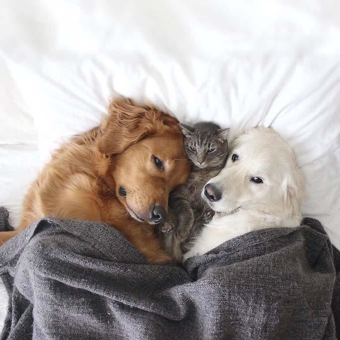 Μια απίθανη παρέα: Δυο σκύλοι και μια γάτα κάνουν τα πάντα μαζί (12)