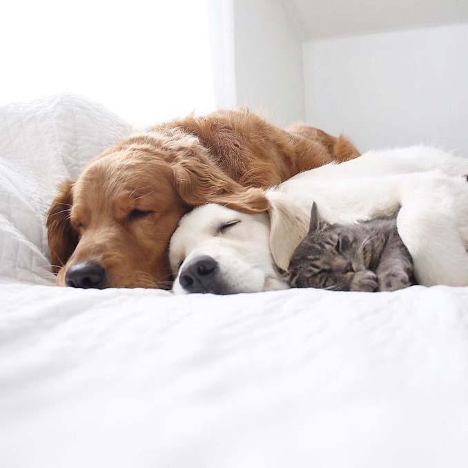 Μια απίθανη παρέα: Δυο σκύλοι και μια γάτα κάνουν τα πάντα μαζί (15)