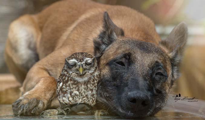 Η ασυνήθιστη φιλία ενός σκύλου με κουκουβάγιες μέσα από εκπληκτικές φωτογραφίες (2)