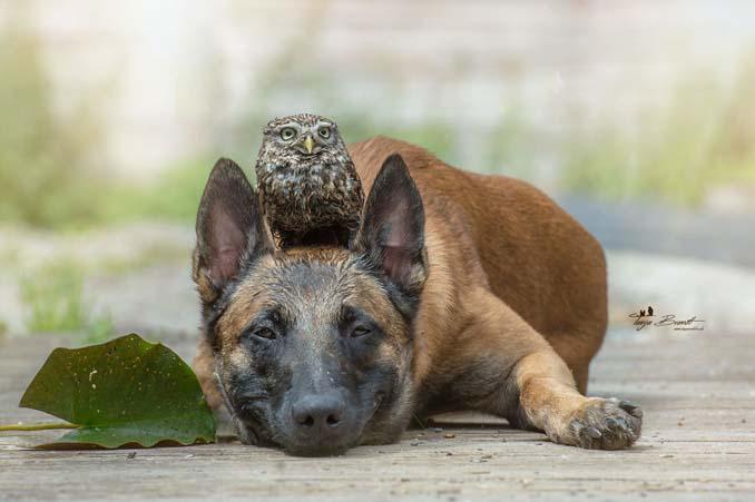 Η ασυνήθιστη φιλία ενός σκύλου με κουκουβάγιες μέσα από εκπληκτικές φωτογραφίες (4)