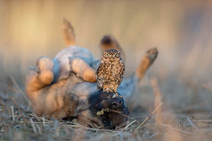 Η ασυνήθιστη φιλία ενός σκύλου με κουκουβάγιες μέσα από εκπληκτικές φωτογραφίες (15)