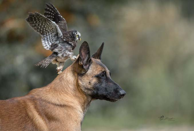 Η ασυνήθιστη φιλία ενός σκύλου με κουκουβάγιες μέσα από εκπληκτικές φωτογραφίες (17)
