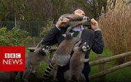 Ρεπόρτερ του BBC δέχεται επίθεση από λεμούριους