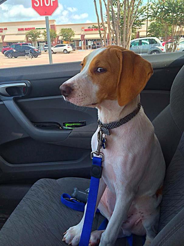 Η ξεκαρδιστική στιγμή που σκύλοι συνειδητοποιούν πως πάνε στον κτηνίατρο και όχι στο πάρκο (3)