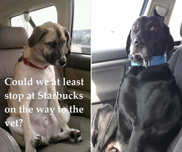Η ξεκαρδιστική στιγμή που σκύλοι συνειδητοποιούν πως πάνε στον κτηνίατρο και όχι στο πάρκο (5)