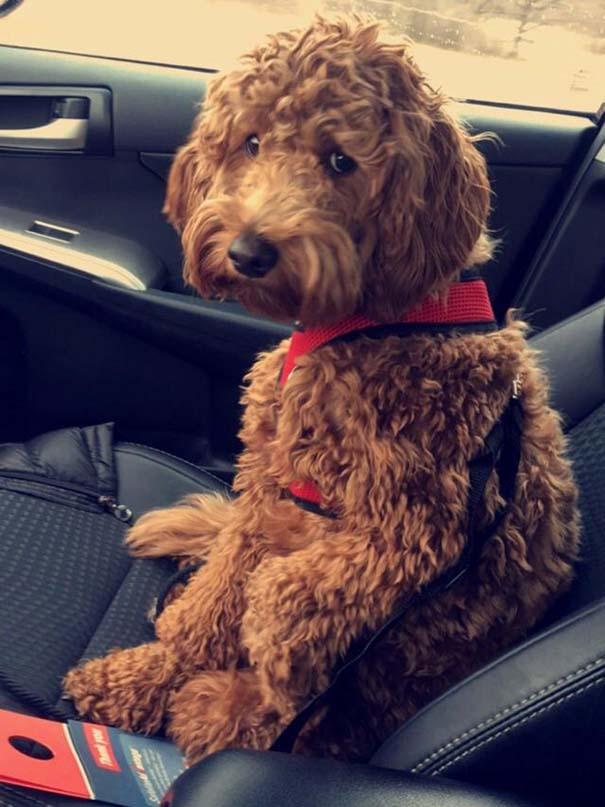 Η ξεκαρδιστική στιγμή που σκύλοι συνειδητοποιούν πως πάνε στον κτηνίατρο και όχι στο πάρκο (9)
