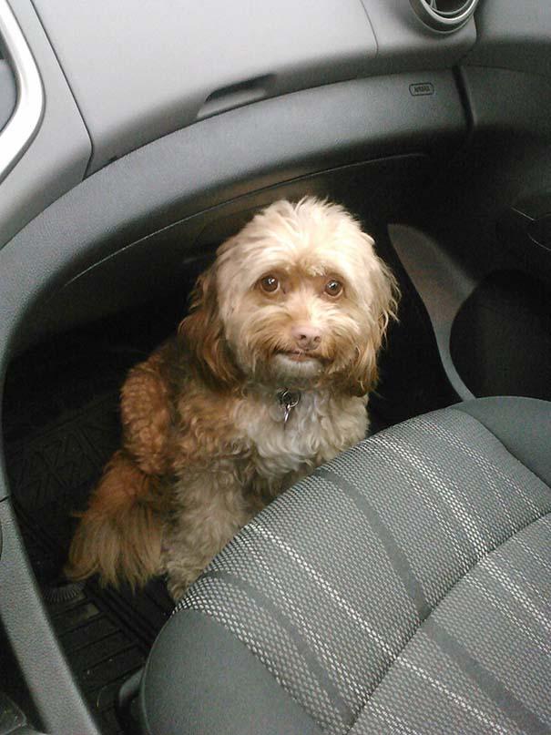 Η ξεκαρδιστική στιγμή που σκύλοι συνειδητοποιούν πως πάνε στον κτηνίατρο και όχι στο πάρκο (11)