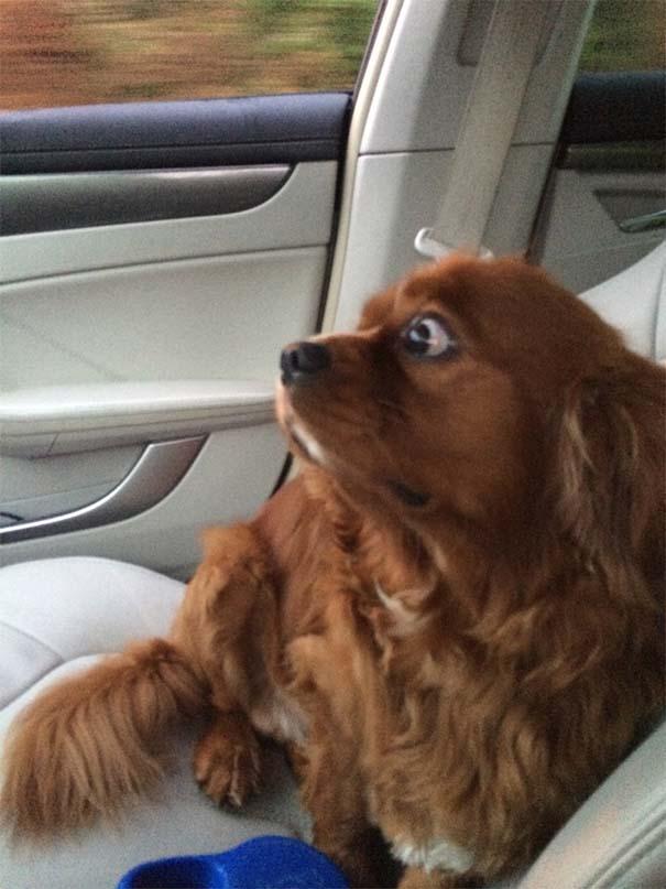 Η ξεκαρδιστική στιγμή που σκύλοι συνειδητοποιούν πως πάνε στον κτηνίατρο και όχι στο πάρκο (12)