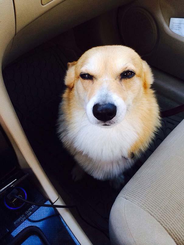 Η ξεκαρδιστική στιγμή που σκύλοι συνειδητοποιούν πως πάνε στον κτηνίατρο και όχι στο πάρκο (14)