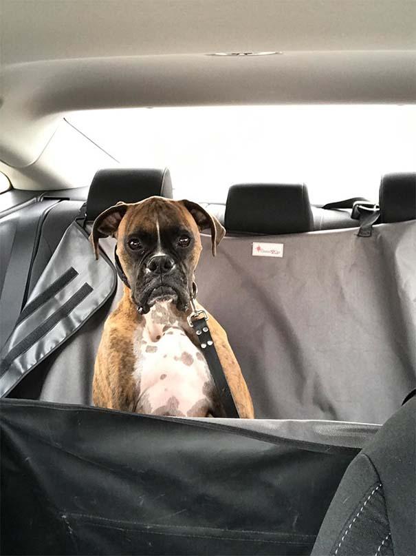 Η ξεκαρδιστική στιγμή που σκύλοι συνειδητοποιούν πως πάνε στον κτηνίατρο και όχι στο πάρκο (15)