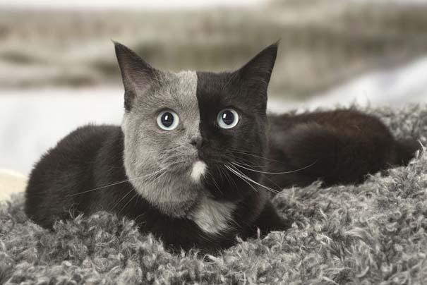 Σπάνιο γατάκι που γεννήθηκε με δύο πρόσωπα, εξελίχθηκε σε μια πανέμορφη γάτα (4)