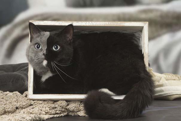 Σπάνιο γατάκι που γεννήθηκε με δύο πρόσωπα, εξελίχθηκε σε μια πανέμορφη γάτα (5)