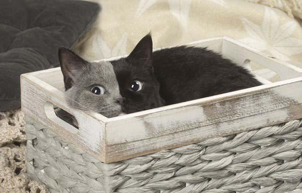 Σπάνιο γατάκι που γεννήθηκε με δύο πρόσωπα, εξελίχθηκε σε μια πανέμορφη γάτα (6)