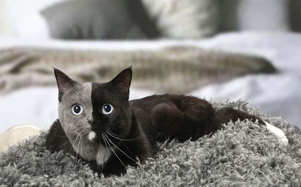 Σπάνιο γατάκι που γεννήθηκε με δύο πρόσωπα, εξελίχθηκε σε μια πανέμορφη γάτα (7)