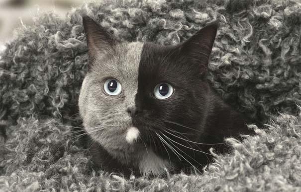 Σπάνιο γατάκι που γεννήθηκε με δύο πρόσωπα, εξελίχθηκε σε μια πανέμορφη γάτα (10)