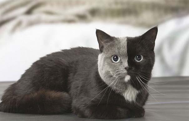 Σπάνιο γατάκι που γεννήθηκε με δύο πρόσωπα, εξελίχθηκε σε μια πανέμορφη γάτα (11)