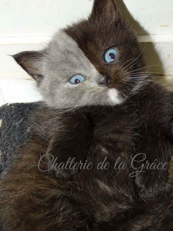 Σπάνιο γατάκι που γεννήθηκε με δύο πρόσωπα, εξελίχθηκε σε μια πανέμορφη γάτα (12)
