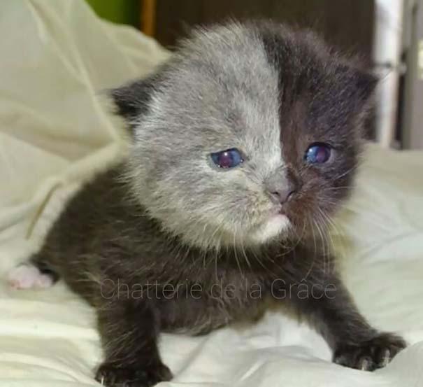 Σπάνιο γατάκι που γεννήθηκε με δύο πρόσωπα, εξελίχθηκε σε μια πανέμορφη γάτα (3)