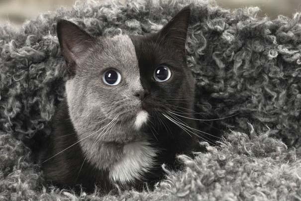 Σπάνιο γατάκι που γεννήθηκε με δύο πρόσωπα, εξελίχθηκε σε μια πανέμορφη γάτα (9)