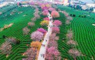 Οι κερασιές στην Κίνα μόλις άνθισαν και το θέαμα είναι μαγευτικό (1)