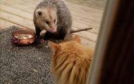 Η ξεκαρδιστική αντίδραση μιας γάτας όταν ένα πόσουμ της κλέβει το φαγητό (1)
