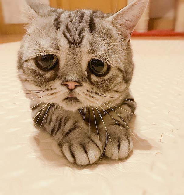 Luhu, ίσως η πιο λυπημένη γάτα στον κόσμο (4)