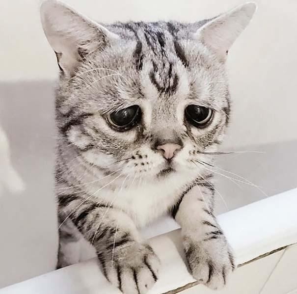 Luhu, ίσως η πιο λυπημένη γάτα στον κόσμο (7)