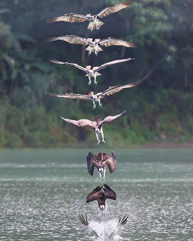 Ψαραετός σε φάση κυνηγιού | Φωτογραφία της ημέρας