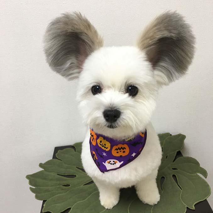 Αυτό το κουτάβι έχει τα αυτιά του Mickey Mouse (2)