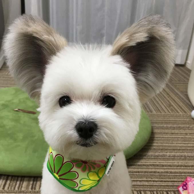 Αυτό το κουτάβι έχει τα αυτιά του Mickey Mouse (3)