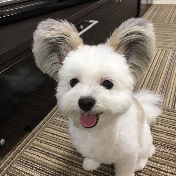 Αυτό το κουτάβι έχει τα αυτιά του Mickey Mouse (5)