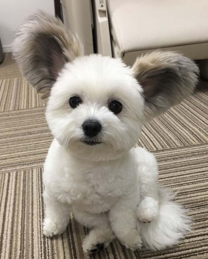 Αυτό το κουτάβι έχει τα αυτιά του Mickey Mouse (6)