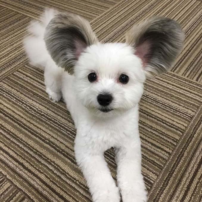 Αυτό το κουτάβι έχει τα αυτιά του Mickey Mouse (7)