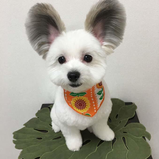 Αυτό το κουτάβι έχει τα αυτιά του Mickey Mouse (8)