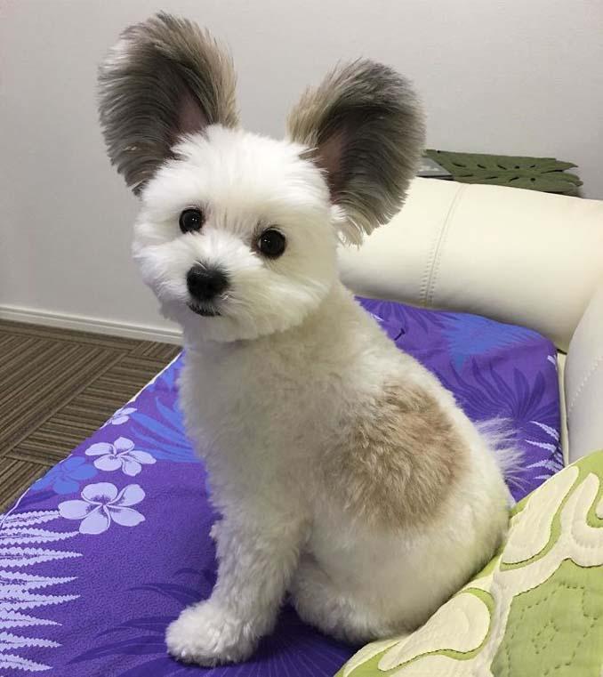 Αυτό το κουτάβι έχει τα αυτιά του Mickey Mouse (9)