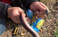 Βοηθώντας ένα δηλητηριώδες φίδι που είχε κολλήσει το κεφάλι του σε κουτάκι αναψυκτικού