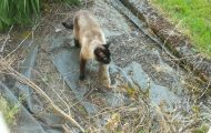 Κουνέλι ξεφεύγει από τα δόντια γάτας όμως το περιμένει μια πιο σκληρή μοίρα...
