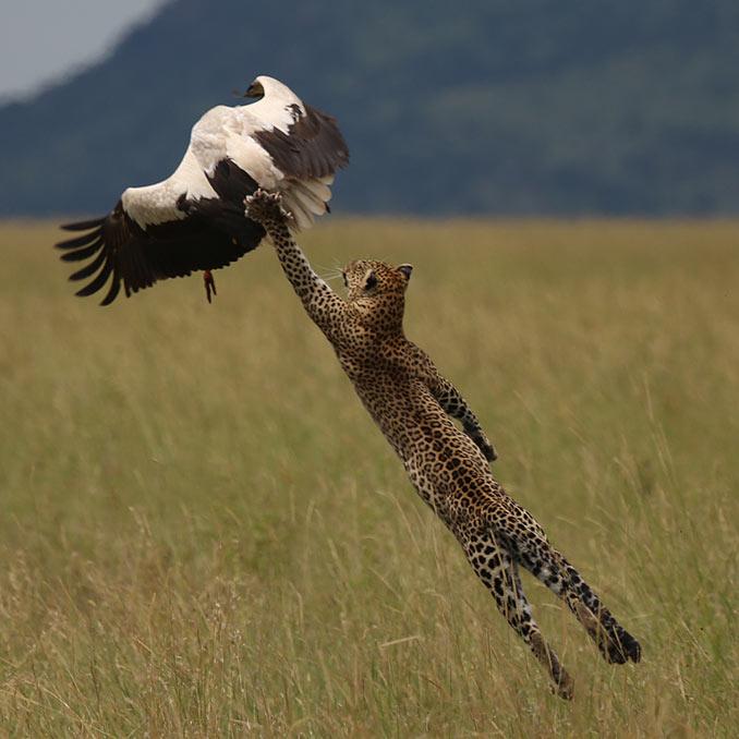 Η απογείωση της λεοπάρδαλης   Φωτογραφία της ημέρας